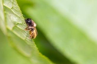 Red mason bee climbing up a buddleja leaf.