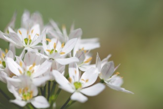 Allium neapolitanum (cowanii group) soaking up the sunlight in the garden.