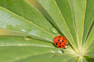 A harlequin ladybird nestled in the centre of a lupin leaf.