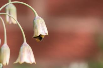A male early bumblebee feeding inside a nectaroscordum siculum flower.