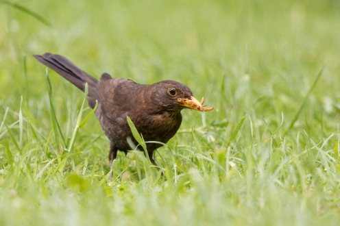Mother blackbird gathering mealworms in the garden between torrential downpours and howling gales on day 6 of 30 Days Wild.