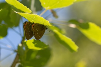 A couple of black hairstreak butterflies, great to see these in quite surprisingly high numbers. Photos from a trip to Wildlife Trusts Brampton Wood on day 7 of 30 Days Wild.