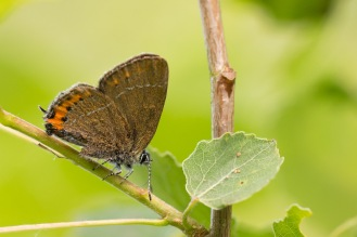A closer photo of a black hairstreak butterfly, albeit a little battle-scarred. Photos from a trip to Wildlife Trusts Brampton Wood on day 7 of 30 Days Wild.