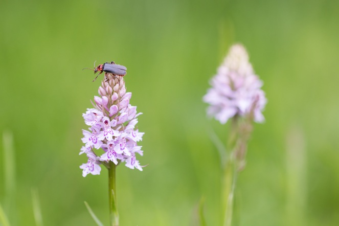 A soldier beetle reaching out from the top of a common spotted orchid. The black mark on its back was heart shaped, which suggests this is cantharis rustica. Photos from a trip to the Wildlife Trusts nature reserve at Grafham Water, on day 8 of 30 Days Wild.