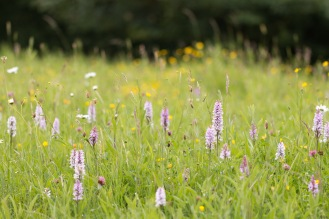 A lot of common spotted orchids growing on a grassy bank. Photos from a trip to the Wildlife Trusts nature reserve at Grafham Water, on day 8 of 30 Days Wild.