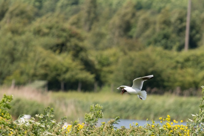 A black headed gull coming in to land on one of the small islands where they are nesting. Photos from a trip to Wildlife Trusts Summer Leys nature reserve for day 9 of 30 Days Wild.