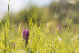 Long grass and two large southern marsh orchid flowers next to each other. There were more orchids adding the coloured patches in the background as well. Photos from a trip to Wildlife Trusts Summer Leys nature reserve for day 9 of 30 Days Wild.