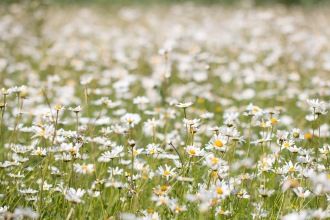 A field full of oxeye daisies. Photos from a trip to Wildlife Trusts Summer Leys nature reserve for day 9 of 30 Days Wild.