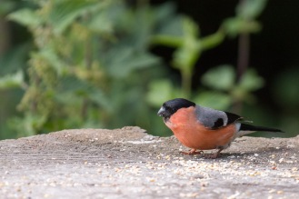 A male bullfinch feeding on one of the bird tables at Summer Leys nature reseve. Photos from a trip to Wildlife Trusts Summer Leys nature reserve for day 9 of 30 Days Wild.