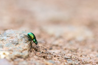 A green dock beetle crossing one of the paths. Photos from a trip to Wildlife Trusts Summer Leys nature reserve for day 9 of 30 Days Wild.