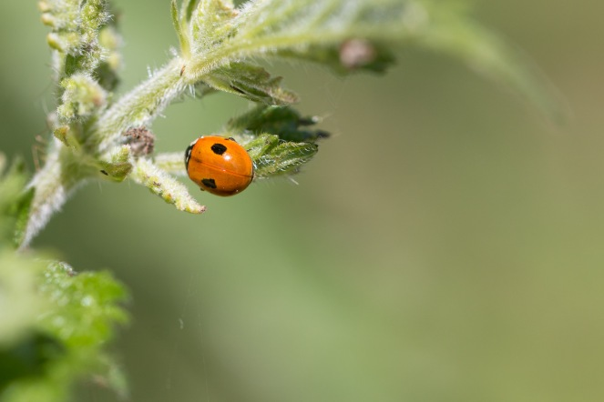 A tiny 2-spot ladybird on a nettle leaf. Photos from a trip to Wildlife Trusts Titchmarsh nature reserve for day 10 of 30 Days Wild.