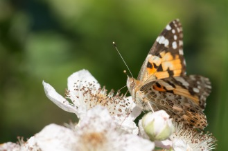 A painted lady butterfly on a rose flower. Photos from a trip to Wildlife Trusts Titchmarsh nature reserve for day 10 of 30 Days Wild.