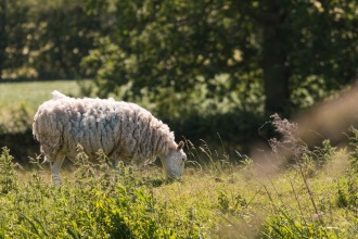 One of a flock of sheep grazing along the bank of the River Nene. Photos from a trip to Wildlife Trusts Titchmarsh nature reserve for day 10 of 30 Days Wild.