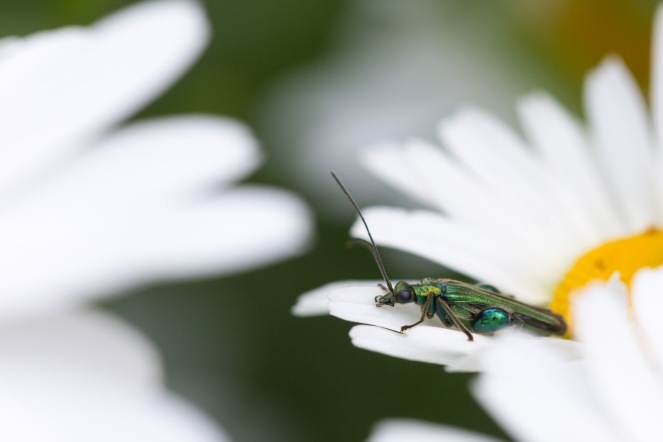 Male thick-legged flower beetle spotted in the garden on day 11 of #30DaysWild.