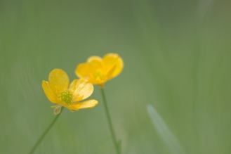 Something simple from the garden for day 13 of 30 Days Wild. Creeping buttercup flowering in the lawn.
