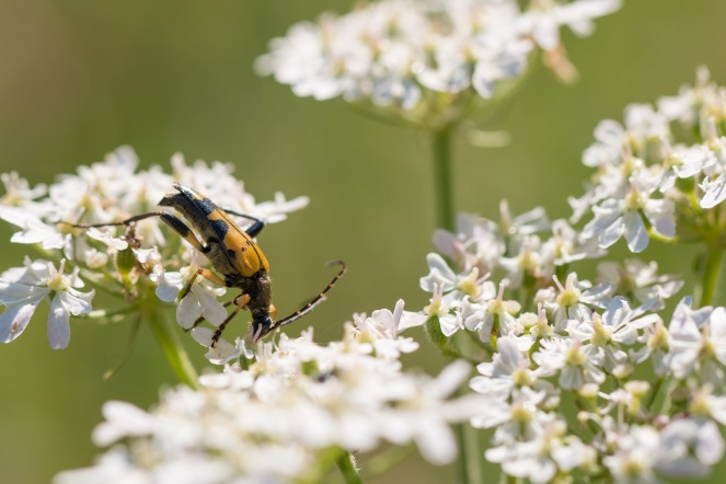 Black and Yellow longhorn beetle out on an umbellifer flower in the sun. Photos from a trip to Wildlife Trusts Felmersham Gravel Pits for day 18 of 30 Days Wild.