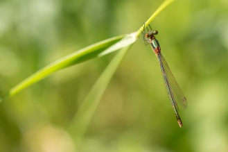 Emerald damselfly perched on a grass stem. Photos from a trip to Wildlife Trusts Felmersham Gravel Pits for day 18 of 30 Days Wild.