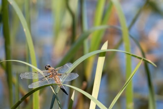 A four spotted chaser dragonfly resting on leaves above the water. Photos from a trip to Wildlife Trusts Felmersham Gravel Pits for day 18 of 30 Days Wild.