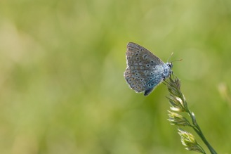 Common Blue butterfly perched on a grass flower. Photos from a trip to Wildlife Trusts Felmersham Gravel Pits for day 18 of 30 Days Wild.