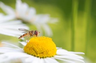 A marmalade hoverfly on an oxeye daisy flower.