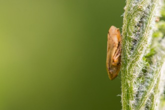 A common froghopper sitting on the back of an unfurling tansy leaf, on day 22 of 30 Days Wild.