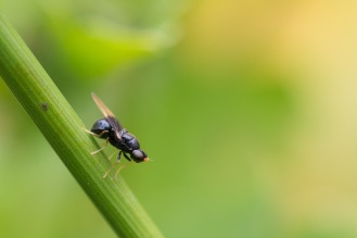 A dark-winged black soldierfly, resting on a plant stem in the garden, on day 24 of 30 Days Wild.