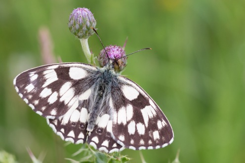 A marbled white butterfly, one of many in the grasslands around the edge of the wood. Photos from a walk around Twywell Hills and Dales Gullet and Twywell Plantation on day 25 of 30 Days Wild.