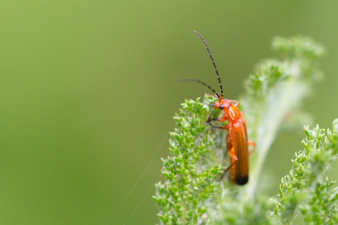 A common red soldier beetle, spotted on a tansy leaf in the garden, on day 26 of 30 Days Wild.