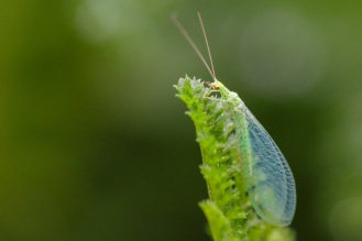 A bright green lacewing spotted in the garden on day 28 of 30 Days Wild.