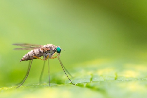 A female little snipe fly and her emerald green eyes, spotted in the garden on day 29 of 30 Days Wild.