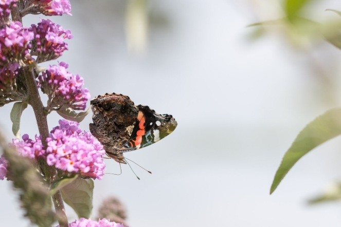 Red admiral feeding on a buddleja flower. Photos from a visit to RSPB HQ The Lodge at Sandy.