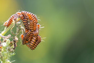 A lot of cinnabar moth caterpillars devouring a ragwort plant. Photos from a visit to RSPB HQ The Lodge at Sandy.