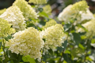 Hydrangea flowers in The Lodge gardens. I think this is a hydrangea paniculata called Limelight. Photos from a visit to RSPB HQ The Lodge at Sandy.