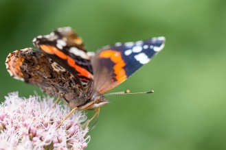 A red admiral butterfly feeding on hemp agrimony in the wildlife garden at RSPB HQ. Photos from a visit to RSPB HQ The Lodge at Sandy.
