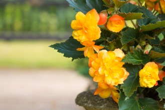 I'm not normally a fan of begonia's, but this Apricot Shades variety may be changing my mind. Photos from a visit to RSPB HQ The Lodge at Sandy.