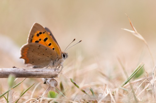 Small Copper butterfly perched on a dead plant stem, out in the Sandy Ridge heathland at RSPB HQ The Lodge.