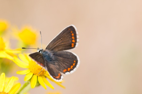 A brown argus butterfly feeding on a ragwort flower, out in the Sandy Ridge heathland at RSPB HQ The Lodge.