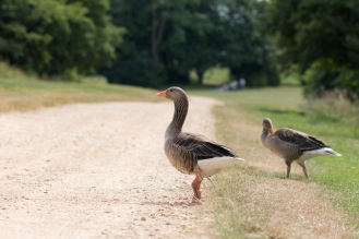 A couple of the greylag geese that were wandering around the lake. Photos from a trip to National Trust Stowe in July 2017.