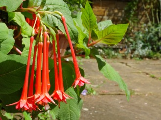 The long hanging flowers of what I think is Fuchsia 'Corale.' Photos from a visit to Coton Manor Gardens in July 2017.
