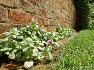 Lamiums growing between the bricks along the bottom of the garden wall. Photos from a visit to Coton Manor Gardens in July 2017.