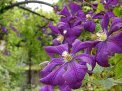 Flowers of clematis jackmanii, growing over a trellis tunnel. Photos from a visit to Coton Manor Gardens in July 2017.