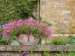 An overflowing pot of single flowered pink pelargoniums on the garden wall, outside the house. Photos from a visit to Coton Manor Gardens in July 2017.