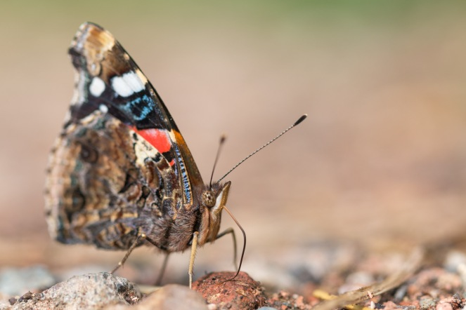 A red admiral butterfly getting minerals from the damp ground. Photos from a trip to Holme Fen in July 2017.