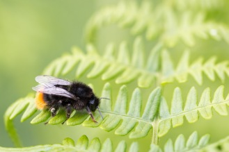 A red-tailed bumblebee having a rest on a bracken frond. Photos from a trip to Holme Fen in July 2017.