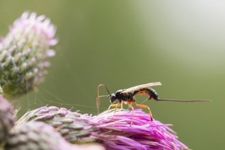A female ichneumon wasp, ovipositing her eggs into whatever unfortunate insect larvae were inside this thistle flower. Photos from a trip to Holme Fen in July 2017.