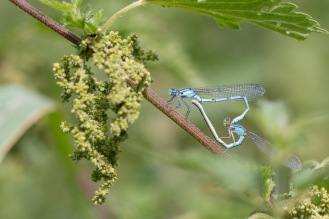 A mating pair of common blue damselflies, forming the characteristic heart shape. Photos from a trip to Holme Fen in July 2017.