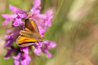 A small skipper butterfly feeding on a betony flower. Photos from a trip to Fermyn Woods Country Park, in Northamptonshire.