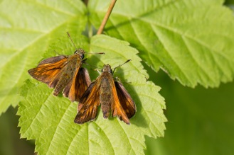A pair of large skipper butterflies in the sun on a bramble leaf. The male (on the left) can be identified from the dark black lines on his wings. Photos from a trip to Fermyn Woods Country Park, in Northamptonshire.