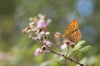 Sunlight shining through the wings of a silver-washed fritillary feeding on a bramble flower. Photos from a trip to Fermyn Woods Country Park, in Northamptonshire.