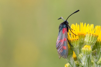 A 6-spot burnet moth on a ragwort flower. Photos from a trip to Fermyn Woods Country Park, in Northamptonshire.